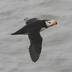 Breeding adult in flight