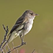 Note: little/no eye ring, contrasting white throat, and all pale lower mandible.